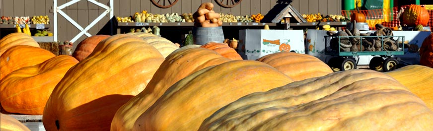 giant-pumpkin-1